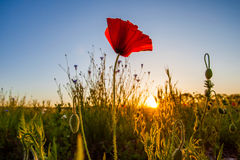 Wild Poppies And Sunrise III Royalty Free Stock Images