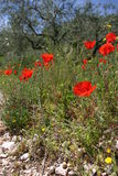 Wild poppies. Vivid red poppies growing wild by the roadside in rural Spain Stock Images