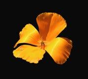 Wild poppy. California spring poppy stock photo