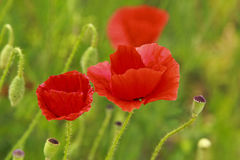 Wild poppy Royalty Free Stock Images