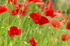 Wild poppy Stock Images