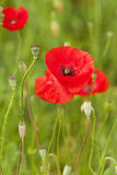 Wild poppy Stock Photo