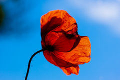 Wild poppy stock photography