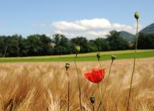 Free Wild Poppy Stock Photos - 5493383