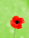 Wild poppy Royalty Free Stock Image