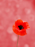 Wild poppy Stock Image