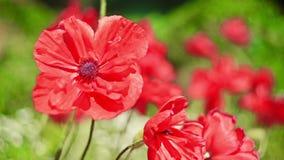 Wild poppy in bloom stock video footage