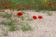 Wild poppy. Blooming on the field Royalty Free Stock Photography
