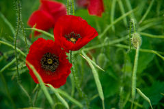 Wild poppy. Blooming on the field Royalty Free Stock Photos