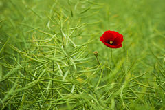Wild poppy. Blooming on the field Stock Photography