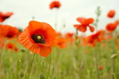 Wild Poppy close up with blurred background. Royalty Free Stock Image