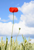 Wild poppy Stock Photos