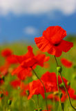 Wild poppy field royalty free stock images