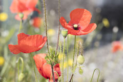 Wild poppy in the field Royalty Free Stock Image
