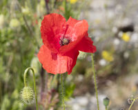 Wild poppy in the field Stock Photography