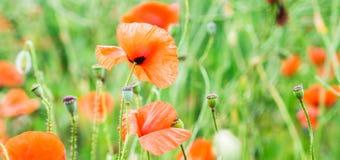 Wild poppy field Stock Photos