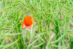 Wild poppy field Royalty Free Stock Photos