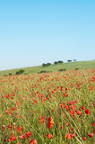 Wild Poppy Field in Summertime Stock Photography