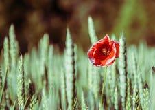 Wild poppy flowe Stock Image