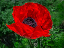 Wild poppy flower alone in the grass Stock Photo