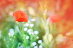 Wild poppy flower Stock Photography