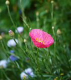 Wild poppy flower. On meadows Stock Images