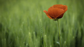 Wild poppy flower Stock Image
