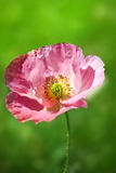 Wild poppy flower Royalty Free Stock Images