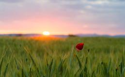 Wild poppy flower in wheat field at beautiful sunset Stock Photo