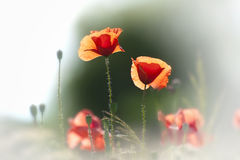 Wild Poppy Flowers Stock Photos
