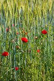 Wild poppy flowers Royalty Free Stock Image