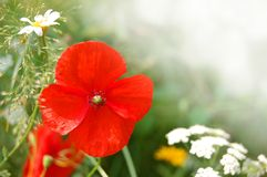 Wild Poppy Flowers Stock Photo