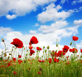 Wild poppy flowers on blue sky background. Stock Image