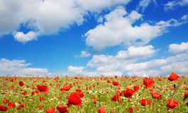 Wild poppy flowers on blue sky background. Royalty Free Stock Image