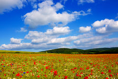 Wild poppy flowers on blue sky background. Royalty Free Stock Photo