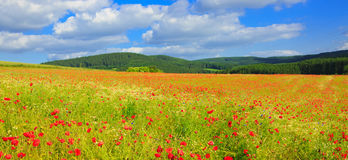 Wild poppy flowers on blue sky background. Stock Photos