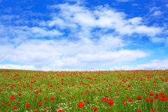 Wild poppy flowers on blue sky background. Royalty Free Stock Images