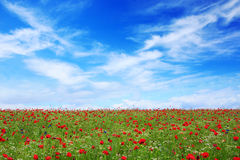Wild poppy flowers on blue sky background. Royalty Free Stock Photography