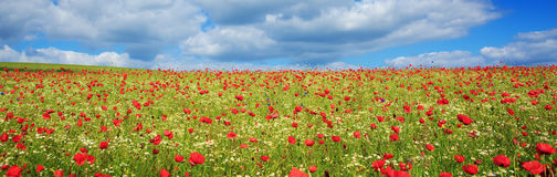 Wild poppy flowers on blue sky background. Stock Images