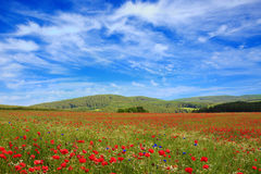 Wild poppy flowers on blue sky background. Royalty Free Stock Photos