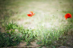 Wild poppy flowers on blurred nature background Stock Image