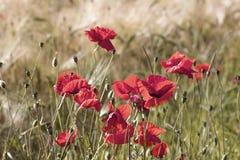 Wild poppy flowers Royalty Free Stock Photography