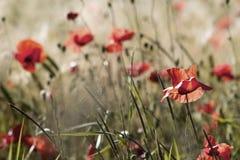 Wild poppy flowers Stock Photo