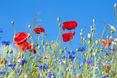 Wild Poppy Flowers And Corn Flowers Stock Image