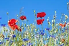 Wild Poppy Flowers And Corn Flowers Stock Image