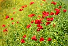 Wild Poppy Flowers on a field Royalty Free Stock Photography