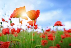Free Wild Poppy Flowers On Blue Sky Background. Royalty Free Stock Photo - 146471745