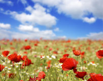 Free Wild Poppy Flowers On Blue Sky Background. Royalty Free Stock Photography - 86194117