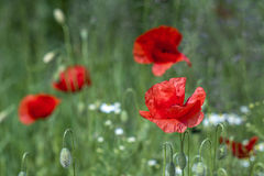 Wild poppy flowers Royalty Free Stock Images