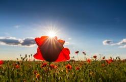 Beautiful poppy flowers isolated on beautiful sky background Royalty Free Stock Photo